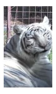 Meet Sapphire, The White Tiger That Isn't Supposed To ...