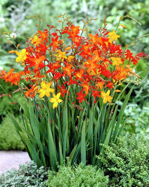 are bulbs perennial 50 crocosmia montbretia mixed summer flowering hardy perennial garden bulbs ebay