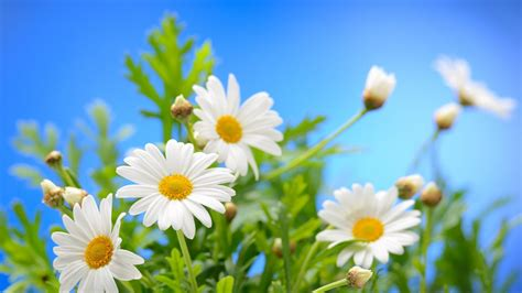 chamomile flowers plants clear blue sky hd wallpapers book