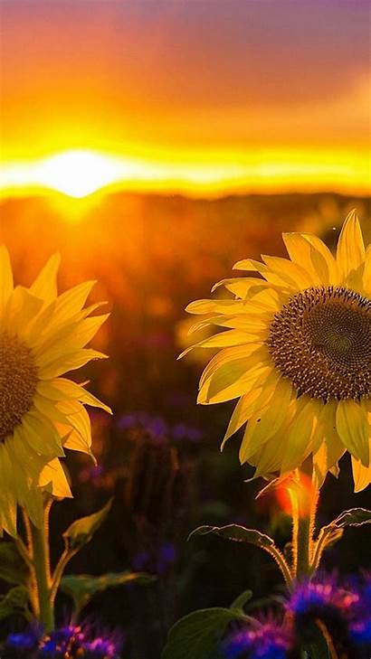 Sunset Wallpapers Sunflower Android Phone Sunflowers Backgrounds