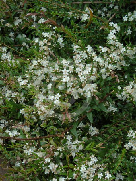 austromyrtus dulcis midgen berry information