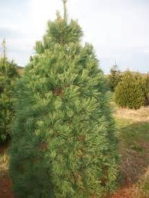 Canaan Fir Christmas Tree Care by About Our Christmas Trees Evergreen Valley Christmas