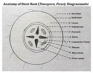 Record Diagram For Dicot Root