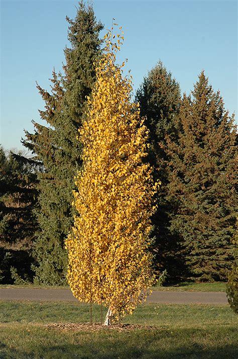 dakota pinnacle japanese white birch betula platyphylla