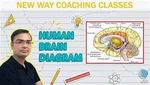 Brain  Humanbrain  Braindigaram How To Draw Human Brain