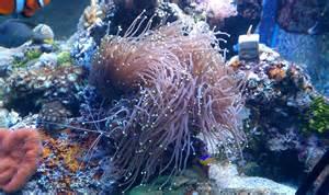 Purple Torch Coral