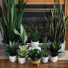 Zimmerpflanzen Für Dunkle Räume : zimmerpflanzen f r dunkle r ume bogenhanf pflanzen ~ Michelbontemps.com Haus und Dekorationen