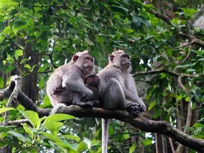 Monkey Forest Ubud Sacred Bali Monkeys Indonesia