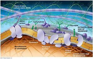 The Plasma Membrane  Structure   Anatomy  U0026 Physiology