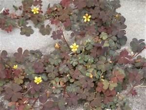 Unkraut Bestimmen Durch Bilder : unkraut bunter klee wie werde ich ihn los pflanzenbestimmung pflanzensuche green24 ~ Whattoseeinmadrid.com Haus und Dekorationen