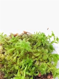 Sphagnum Moss (Terrarium / Vivarium (end 10/19/2019 1:15 PM)
