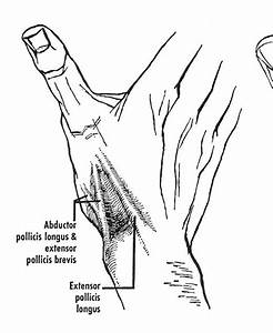 The  U0026quot Anatomical Snuffbox  U0026quot  The Tendons Of The Abductor