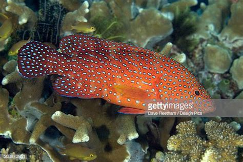 coral grouper reef amongst brightly indonesia stands cephalopholis miniata