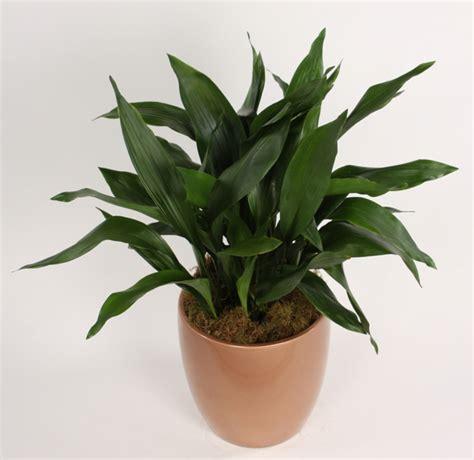 Schusterpalme Als Zimmerpflanze by Zimmerpflanzen F 252 R Wenig Licht 25 Gr 252 Ne Und Bl 252 Hende Arten