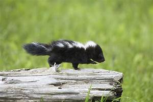 What is the Lifespan of a Pet Skunk?