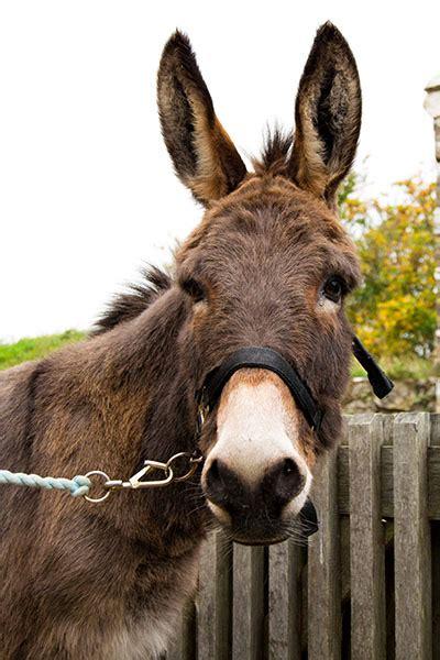 adopt jimbob isle  wight donkey sanctuary
