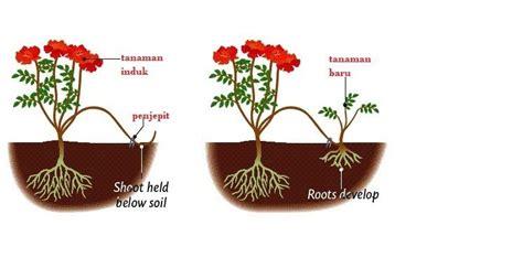 caranya perkembangbiakan tumbuhan secara vegetatif