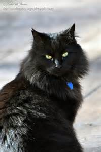 black ragdoll cat black cat dandenong ranges nature photography