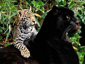 Cougar   Wildography & Safaris