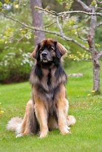 Fakta om Leonberger - hundepoterblogg.no