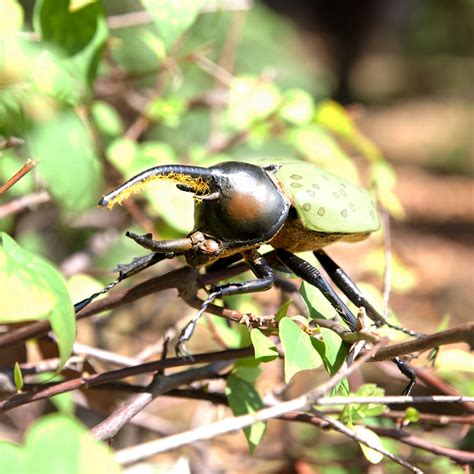 Neptune Beetle (dynastes neptunium)   Green Rhino   BEETLE ...