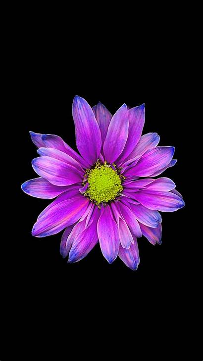 Iphone Backgrounds Flower Purple Flowers Wallpapers Background