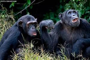 The Ngamba chimpanzee sanctuary in Uganda - Africa Geographic