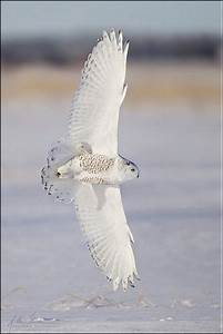 Snowy Owl Banking in Flight -- I saw one of these like ...