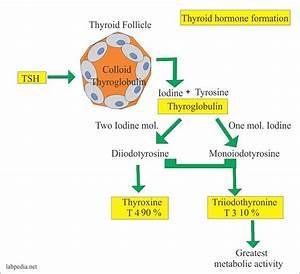 Thyroid  U2013 Part 7  U2013 Triiodothyronine Total  T3 Total  U2013 Labpedia Net