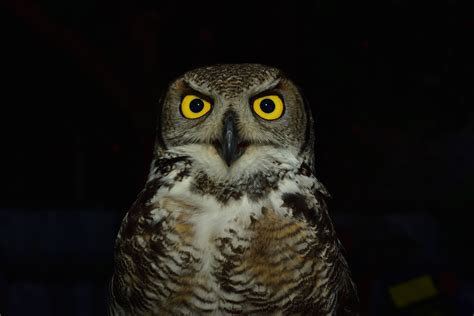 brown  white owl  image peakpx