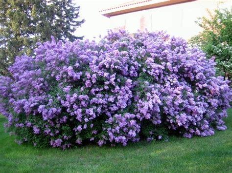 small lilac bush varieties lilac bushes green thumb pinterest