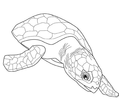 Coloring Turtle by Print Turtle Coloring Pages As The