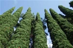 Zypresse Wird Braun : zypresse wurzeln wissenswertes zum wurzelsystem ~ Lizthompson.info Haus und Dekorationen