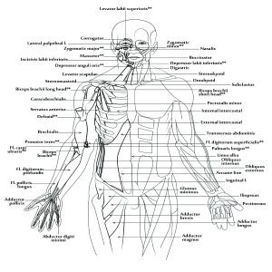 A Muscular System Worksheet  Human Body Coloring Book