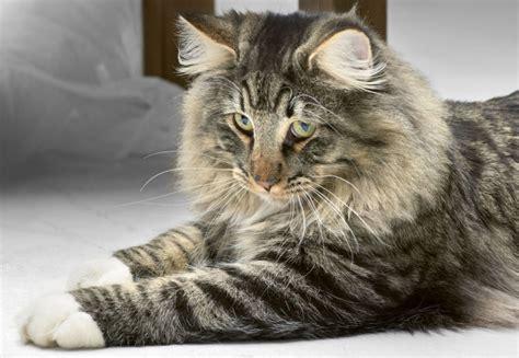 norwegian forest cat purrfect cat breeds