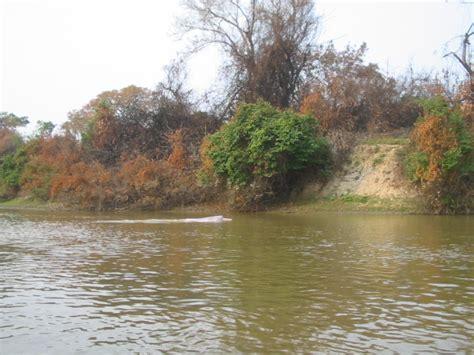 bolivian river dolphin wikipedia