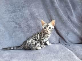 silver bengal cat pedigree silver bengal kitten northton