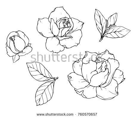 Gardenia Drawing by Gardenia Flower Sketches Sketch Coloring Page
