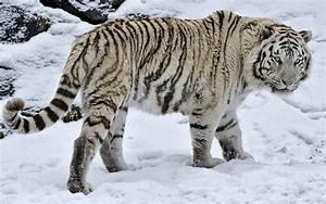 Tigre Blanco En La Nieve fondos de pantalla | Tigre Blanco ...
