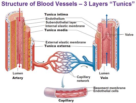 Torso with the heart and blood vessels labeled. Blood vessels (Types, structure and functions) - Online Science Notes