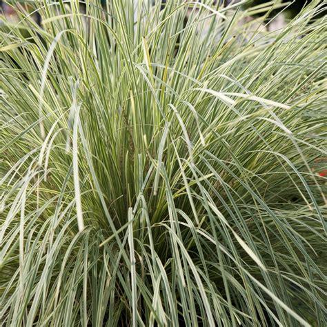 ornamental grass plants southern living plant collection 2 5 qt platinum beauty lomandra live evergreen grass green