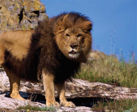 lions abdozoom animals
