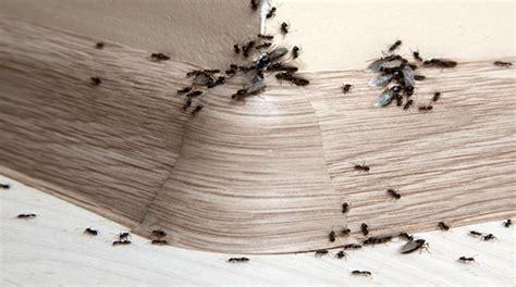 ameisen im haus bekaempfen  kann man gegen ameisen tun
