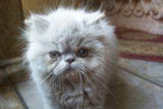 """Miss Hers! Persian kitten. Lion cut. 