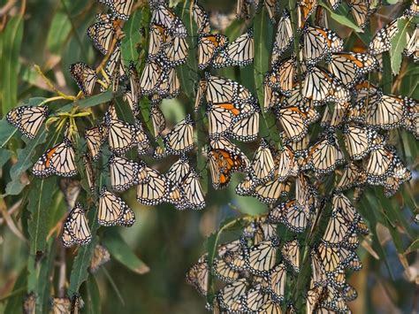 si鑒e habitat raid sawmills to protect monarch butterfly habitat smart smithsonian