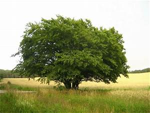 Linde Baum Steckbrief : hainbuche steckbrief ~ Orissabook.com Haus und Dekorationen