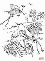 Paradise Coloring Dibujos Bird Colorear Birds Coloriage Colorare Quetzal Disegni Clash King Imprimer Imprimir Dibujo Template Royale Sketch Pintar Sobre sketch template