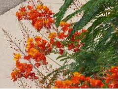 Names of yellow orange flowers meinafrikanischemangotabletten red orange flower names bean pods on bushes with orange yellow and names of yellow orange mightylinksfo