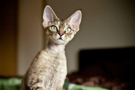 Devon Rex Cat Breed Information, Pictures, Characteristics
