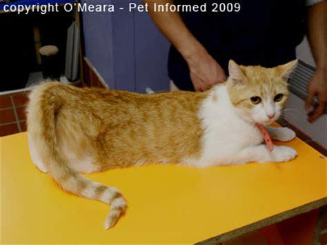 cats in heat female feline the bodyproud initiative